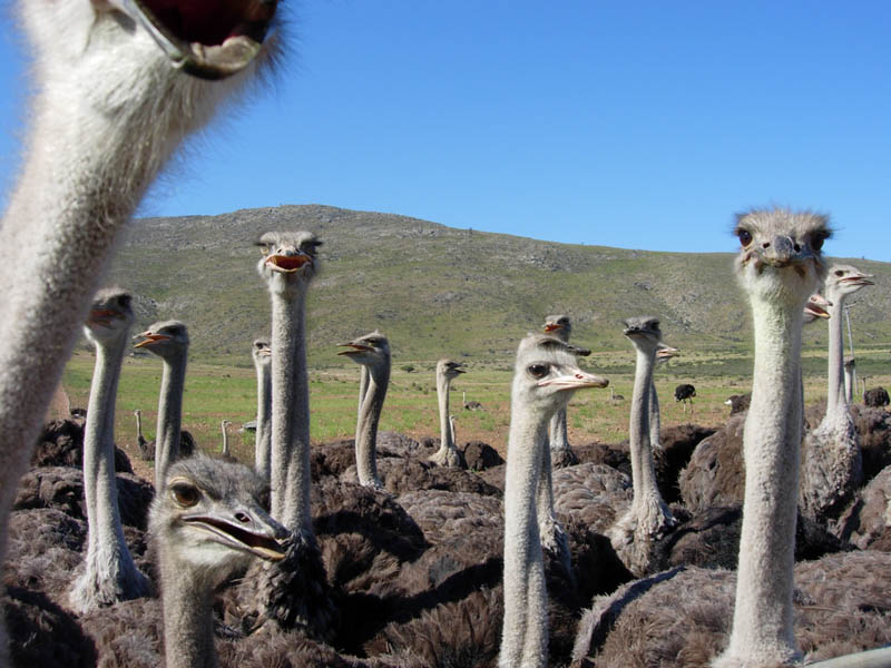 group of ostrich 10 Things You Didnt Know About the Worlds Largest Bird