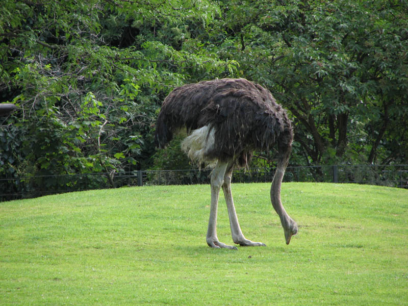 ostrich head in ground is a myth 10 Things You Didnt Know About the Worlds Largest Bird