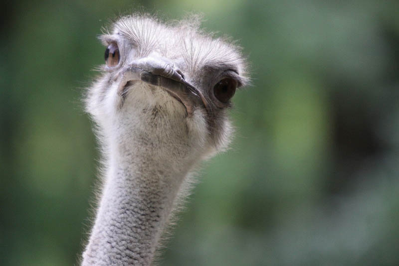 ostrich portrait 10 Things You Didnt Know About the Worlds Largest Bird