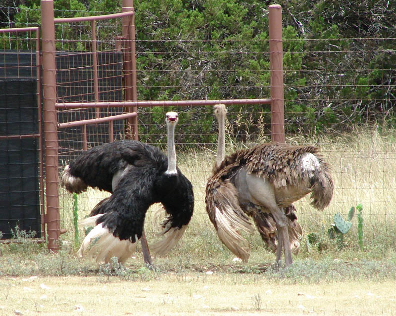 ostrich wings 10 Things You Didnt Know About the Worlds Largest Bird