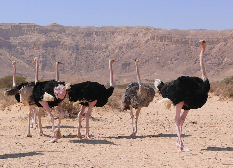 ostriches 10 Things You Didnt Know About the Worlds Largest Bird
