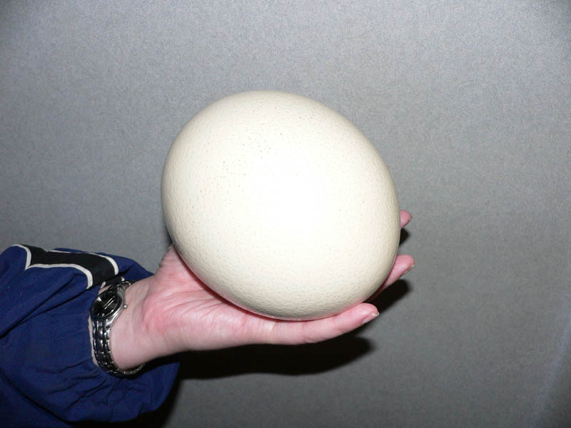 size of an ostrich egg in hand 10 Things You Didnt Know About the Worlds Largest Bird