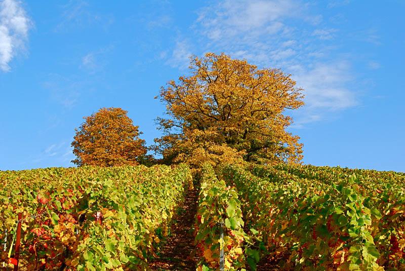 verzenay northeastern france vineyard 35 Gorgeous Vineyards Around the World