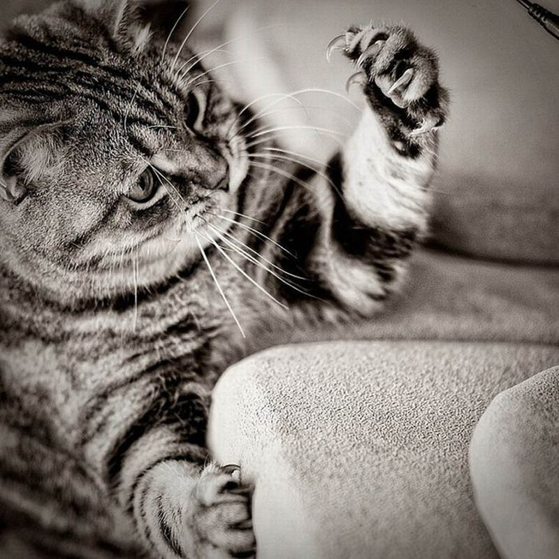 cat staring at claws Picture of the Day: The Claaaaaaaaw!
