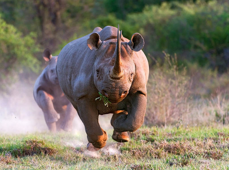 charging raging rhinoceros Picture of the Day: Raging Rhino!