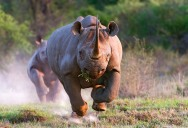Picture of the Day: Raging Rhino!
