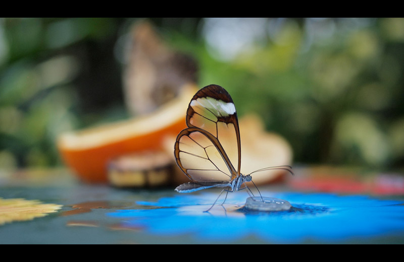 glasswinged butterfly Picture of the Day: The Stunning Glasswinged Butterfly