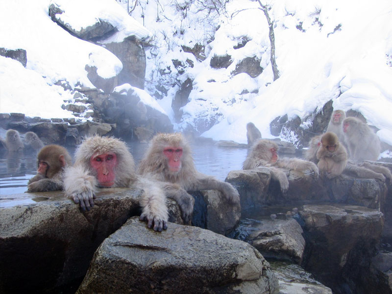 snow monkeys in hot springs japanese macaques Picture of the Day: Snow Monkeys Lounging in Hot Springs