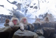 Picture of the Day: Snow Monkeys Lounging in Hot Springs