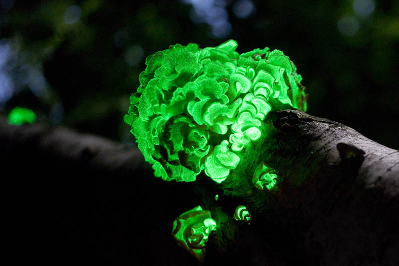 bioluminescent fungus glow in the dark bitter oyster stiptic fungus Picture of the Day: Glow in the Dark Fungus