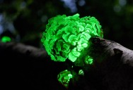 Picture of the Day: Glow in the Dark Fungus