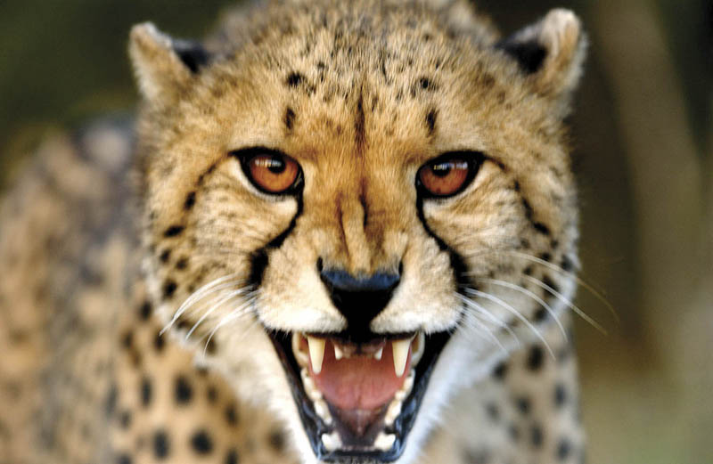 cheetah head shot The Worlds Fastest Animals on Land, Sea and Air