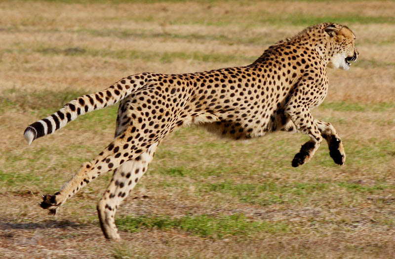 cheetah mid leap The Worlds Fastest Animals on Land, Sea and Air