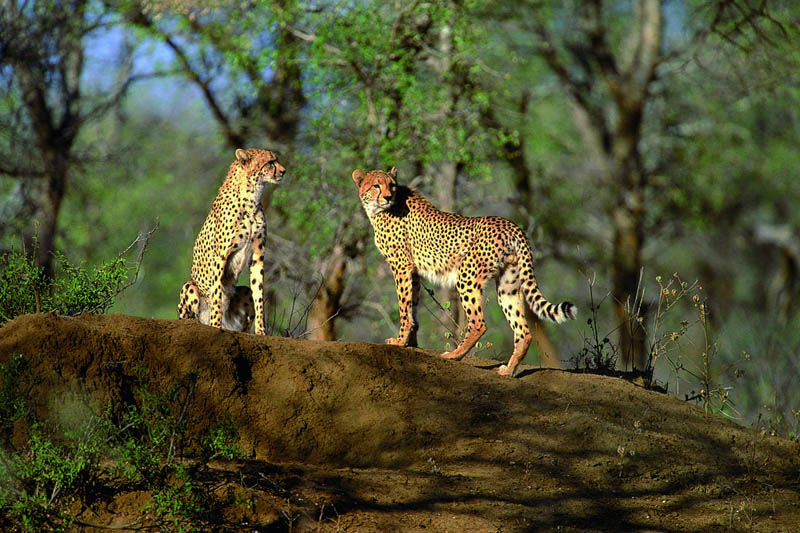 cheetahs The Worlds Fastest Animals on Land, Sea and Air