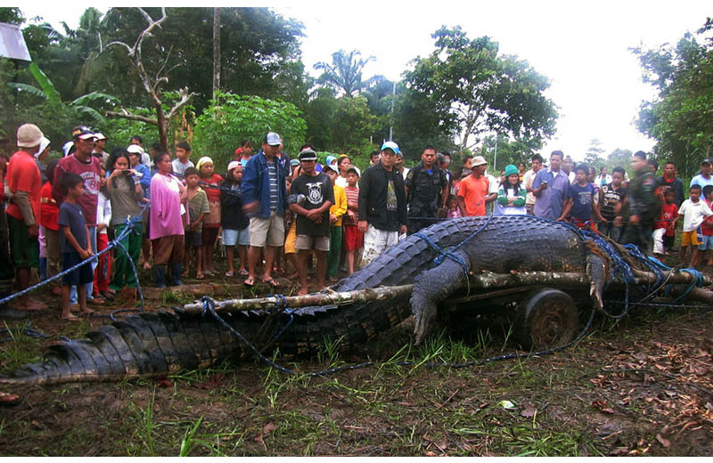 giant crocodile caught in philippines biggest largest ever Picture of the Day: Biggest. Crocodile. Ever.