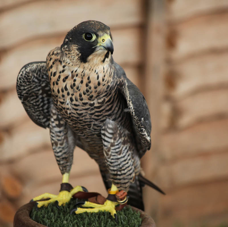 worlds fastest bird peregrine falcon 3 The Worlds Fastest Animals on Land, Sea and Air