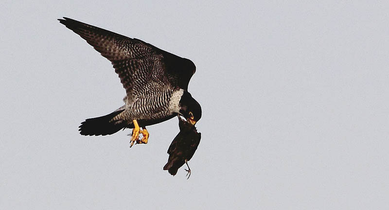 worlds fastest bird peregrine falcon 4 The Worlds Fastest Animals on Land, Sea and Air