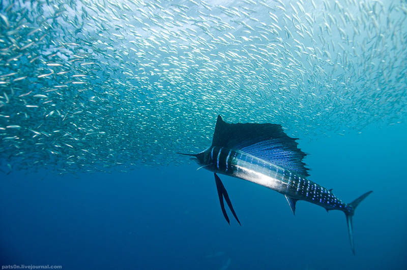 worlds fastest fish swimmer animal in water 1 The Worlds Fastest Animals on Land, Sea and Air