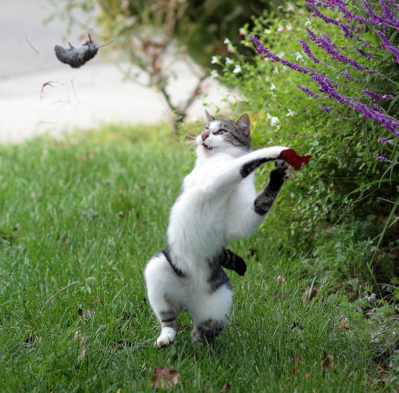 cat throwing a mouse Picture of the Day: Dexter Throws a Mouse