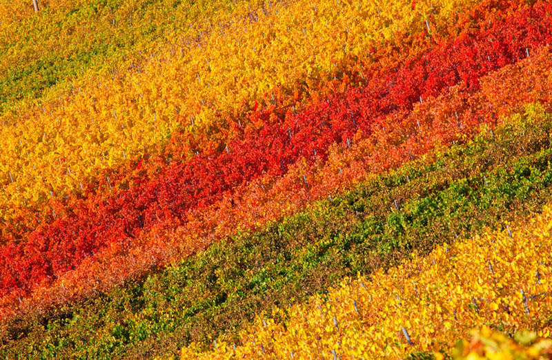 chianti classico vineyards in fall autumn tuscany italy Picture of the Day: Colorful Vineyards of Chianti Classico in Tuscany