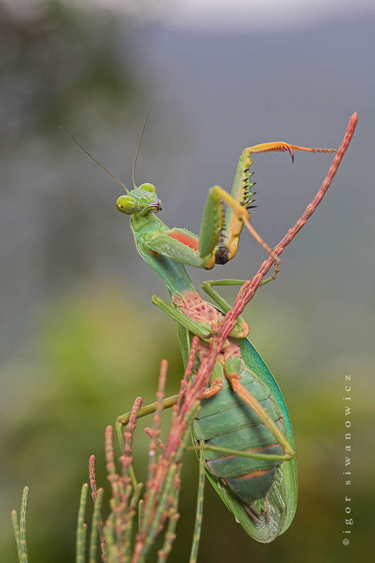 naturally mantis by blepharopsis The Incredible Praying Mantis [25 pics]