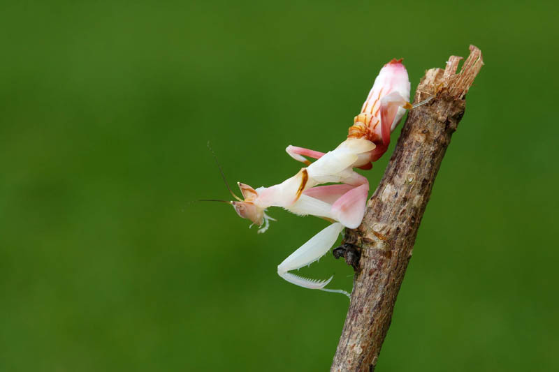 orhid mantis by macrojunkie The Incredible Praying Mantis [25 pics]