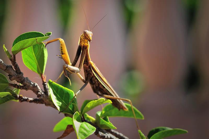 praying mantis 3 The Incredible Praying Mantis [25 pics]