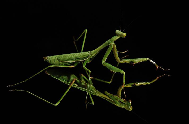 praying mantis 4 The Incredible Praying Mantis [25 pics]