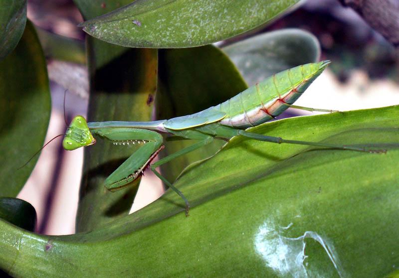 praying mantis 8 The Incredible Praying Mantis [25 pics]