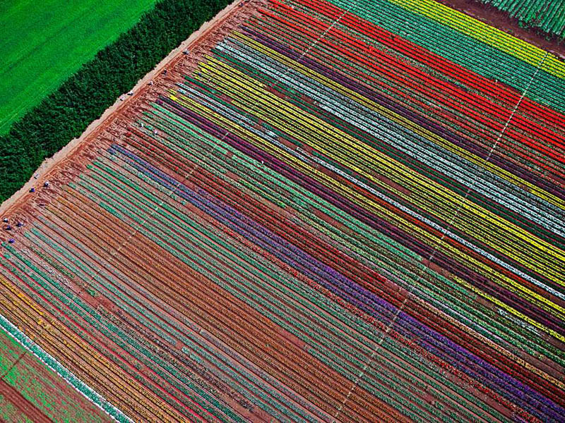 table cape tulip farm from above aerial photograph Picture of the Day: The Table Cape Tulip Farm from Above