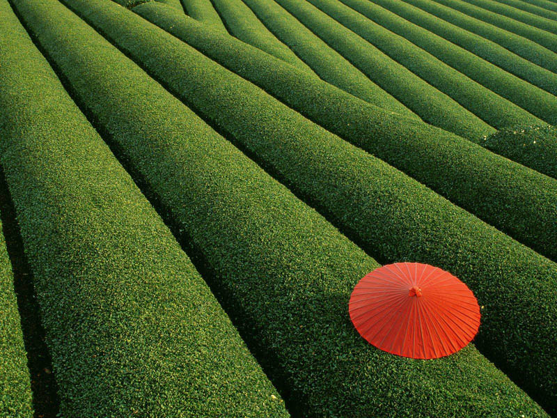 tea field red umbrella japan Picture of the Day: Stunning Tea Field in Japan
