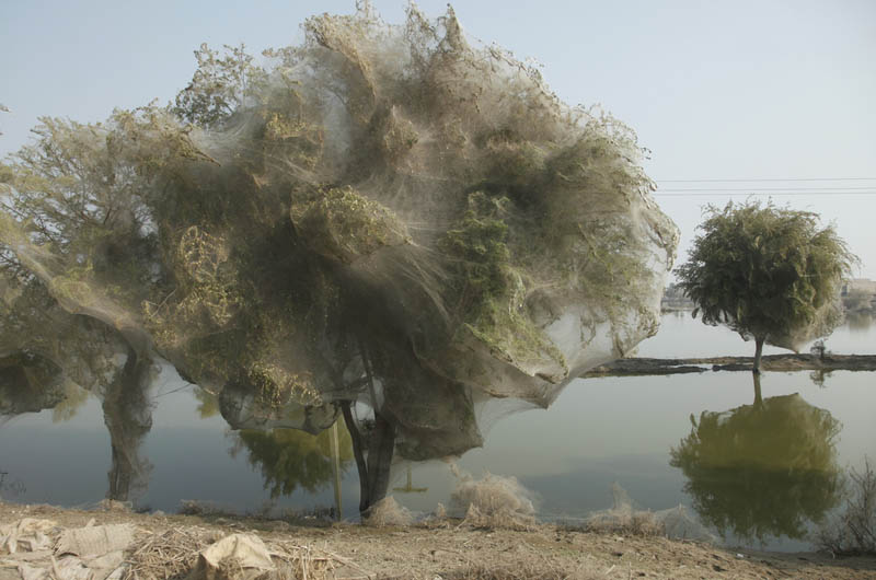 trees covered in spider webs in pakistan 5 Trees Turned Into Giant Spider Webs From Flooding