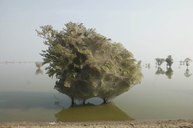 trees covered in spider webs in pakistan 6 Trees Turned Into Giant Spider Webs From Flooding