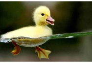Picture of the Day: Adorable Waterproof Duckling