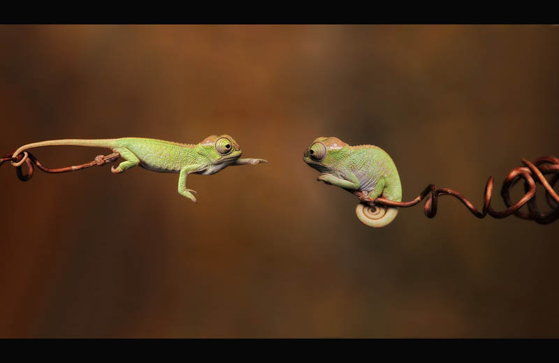baby chameleons branching out Picture of the Day: Baby Chameleons Branching Out
