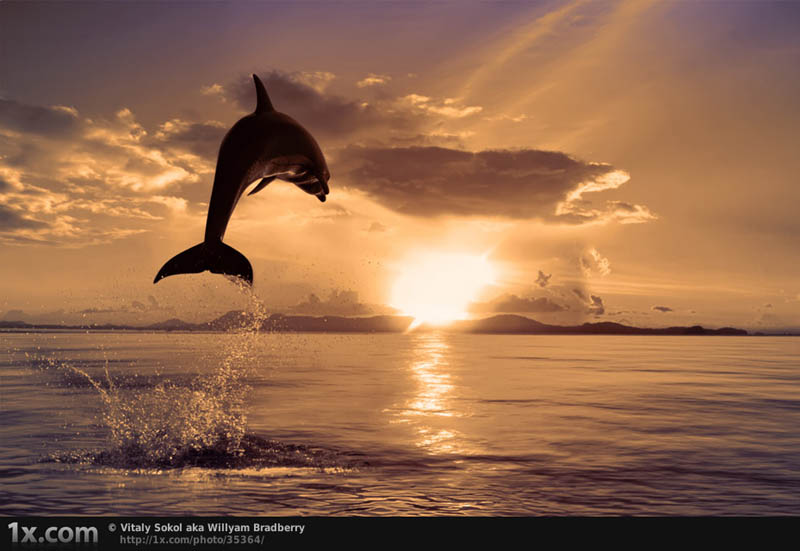 dolphin jumping into sunset Picture of the Day: Onward and Upward
