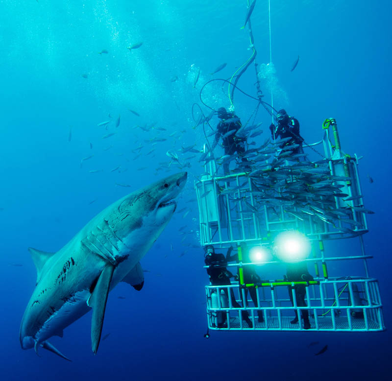 huge giant great white shark divers in cage Picture of the Day: The Mighty Great White Shark