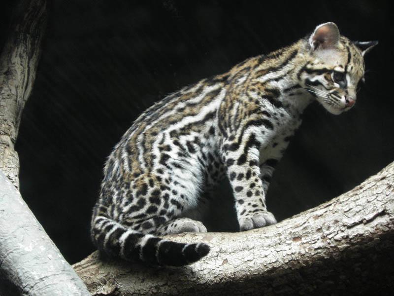 ocelot kitten by canislupuscorax The Adorable Ocelot [30 pics]