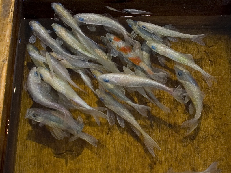 3d fish sculpture paintings layer by layer riusuke fukahori 2 Incredible 3D Sculptural Art Painted Layer by Layer