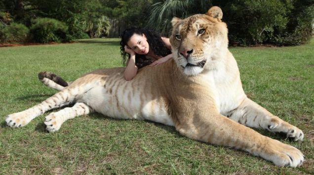 hercules the liger 10 Bizarre Hybrid Animals