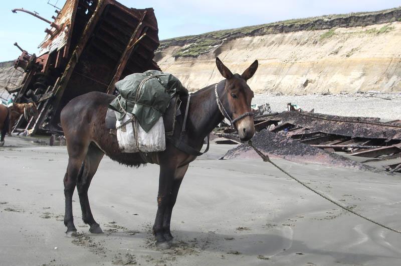 mule 10 Bizarre Hybrid Animals
