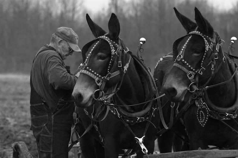pair of mules 10 Bizarre Hybrid Animals