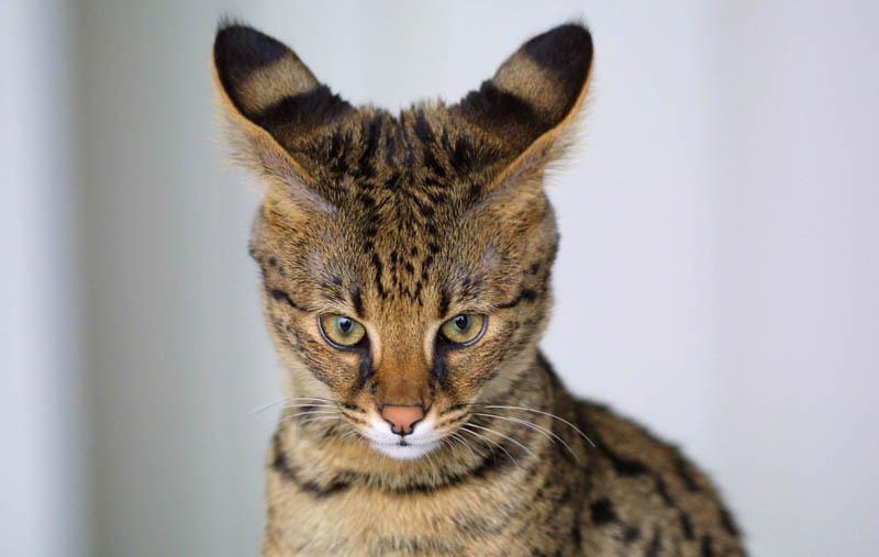 savannah cat closeup 10 Bizarre Hybrid Animals