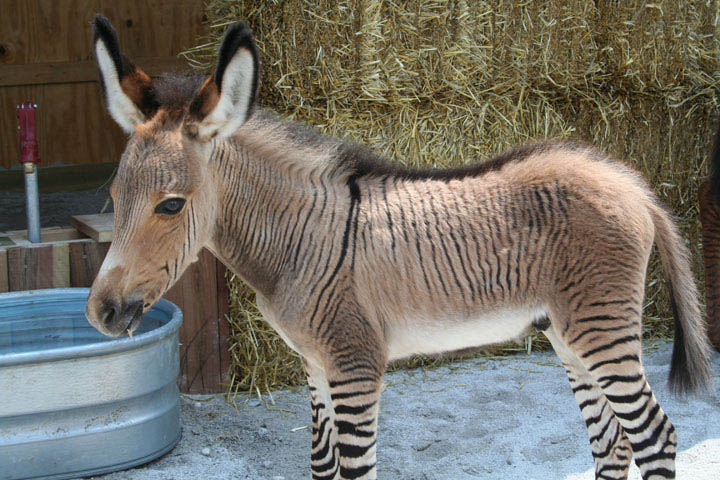 zebroid 10 Bizarre Hybrid Animals