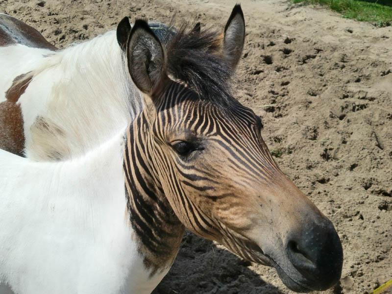 10 Bizarre Hybrid Animals