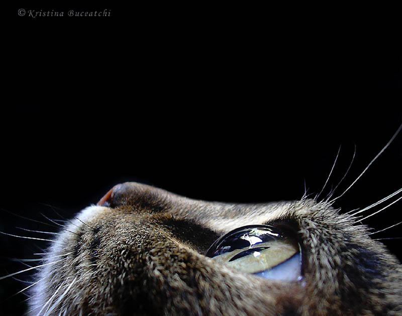 cat looking up eyes on prize kristina buceatchi Picture of the Day: Eyes on the Prize