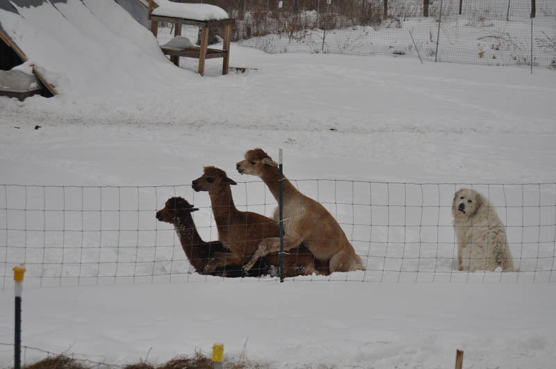llama alpaca humping dog forever alone The Shirk Report   Volume 149