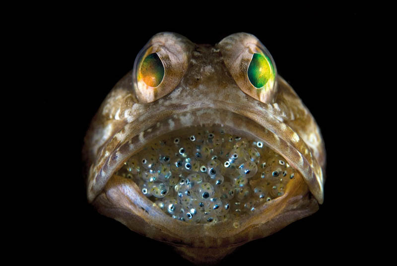 male jawfish mouthbrooding babies Picture of the Day: Male Jawfish Mouthbrooding Offspring