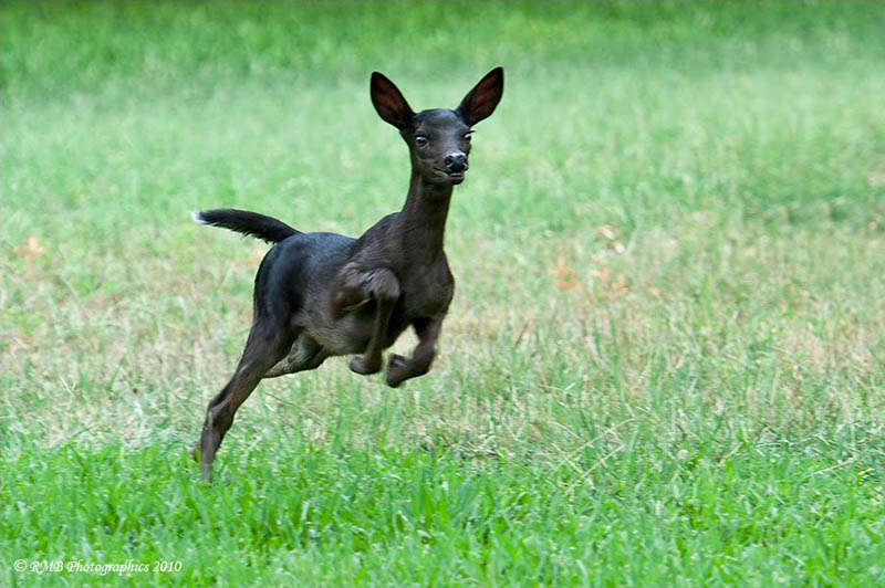 melanistic black fawn 10 Incredible Melanistic (All Black) Animals
