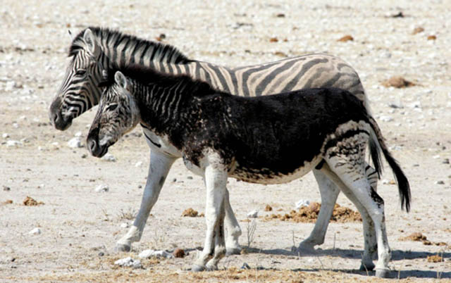 melanistic black zebra 10 Incredible Melanistic (All Black) Animals
